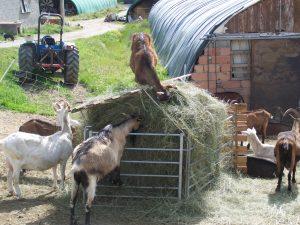 Les chèvres qui permettent de produire du bon fromage!